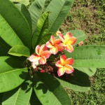 Flowers at Ban Thon hospital
