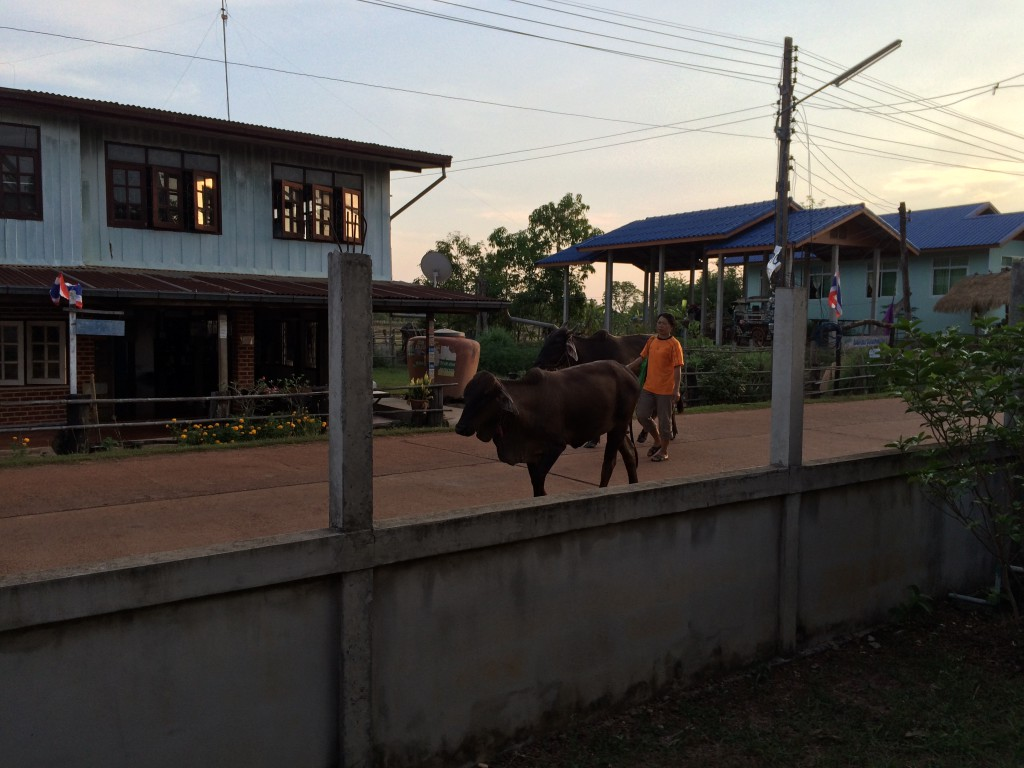 Cows in the street