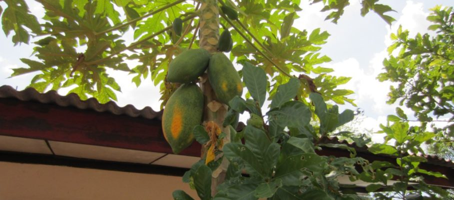 Papaya in tree