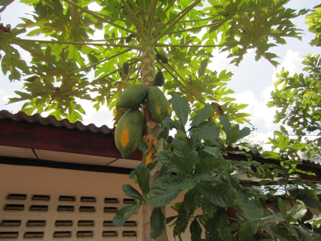Papaya in tree