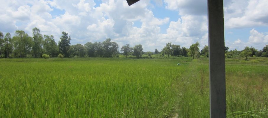 Our rice fields