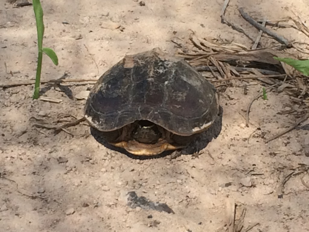 Tortoise at own land