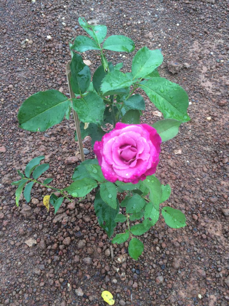 One of the roses