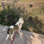 Chok Dee on a leash