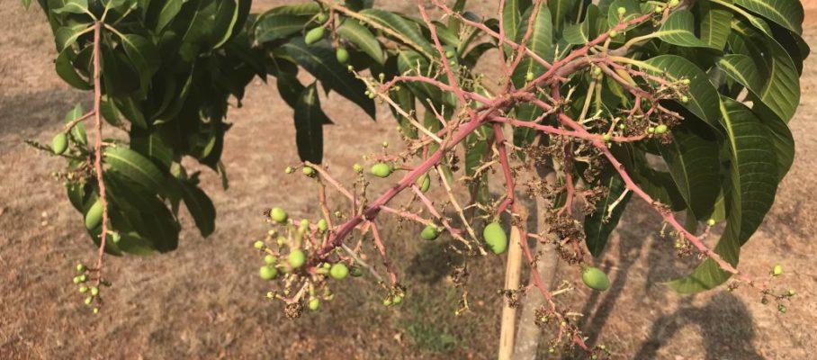 Mini mango's
