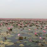 The Lotus Lake