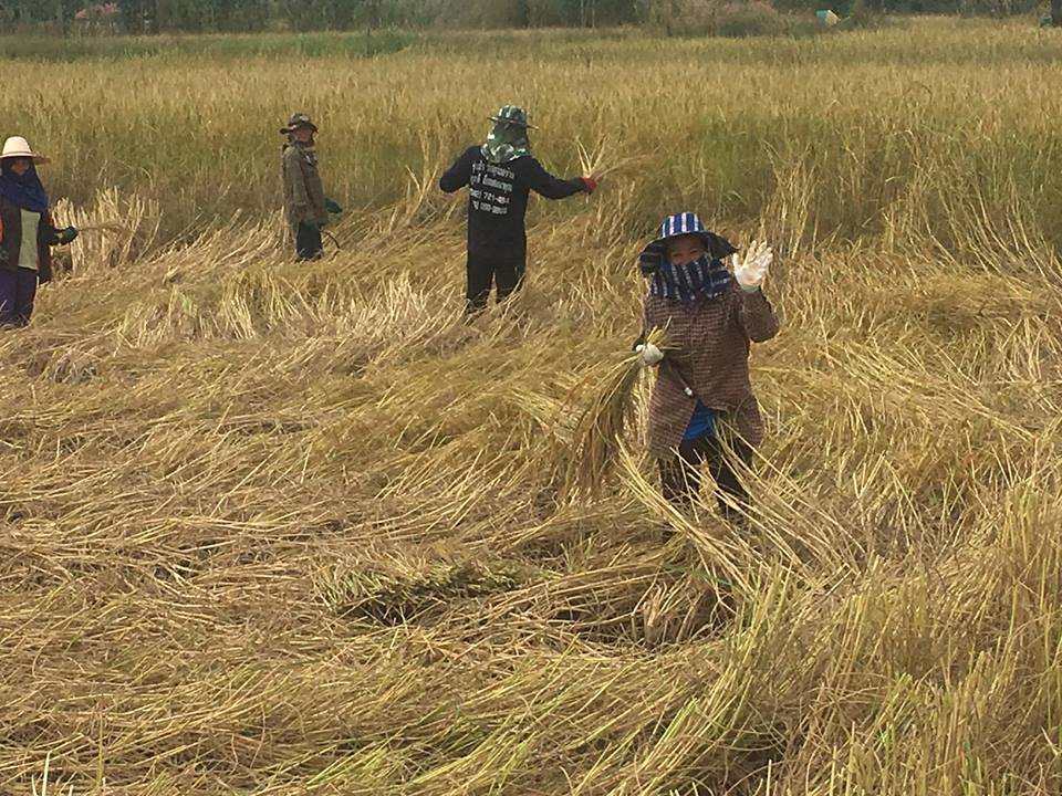 Rice cutting