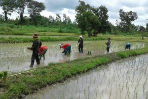 Rice field planting