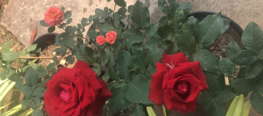 New roses 2