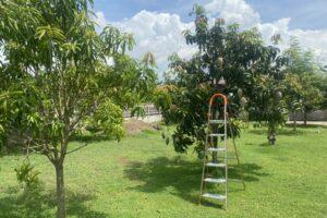 Stairs at Mango tree